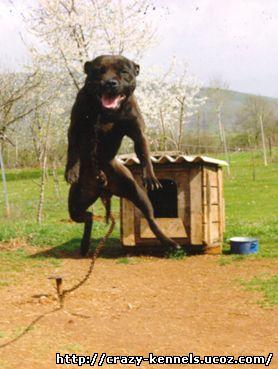 www.crazy-kennels.ucoz.com - ლეგენდარული პიტ-ბულები